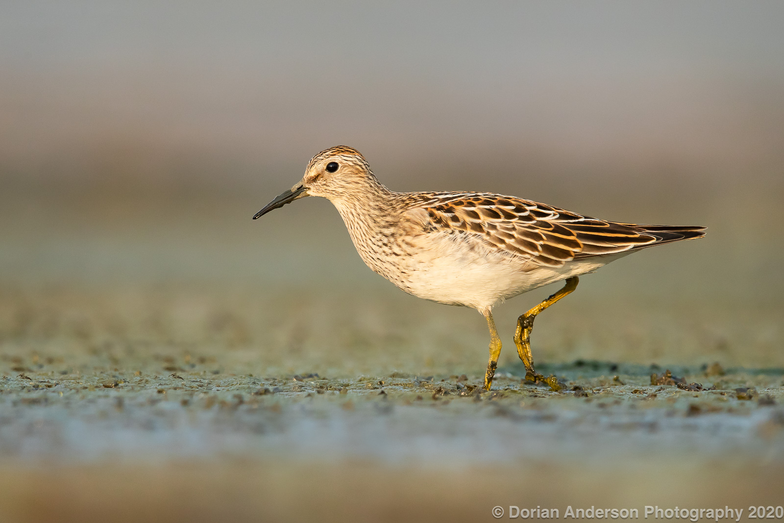 Name:  pectoral sandpiper 092020.jpg