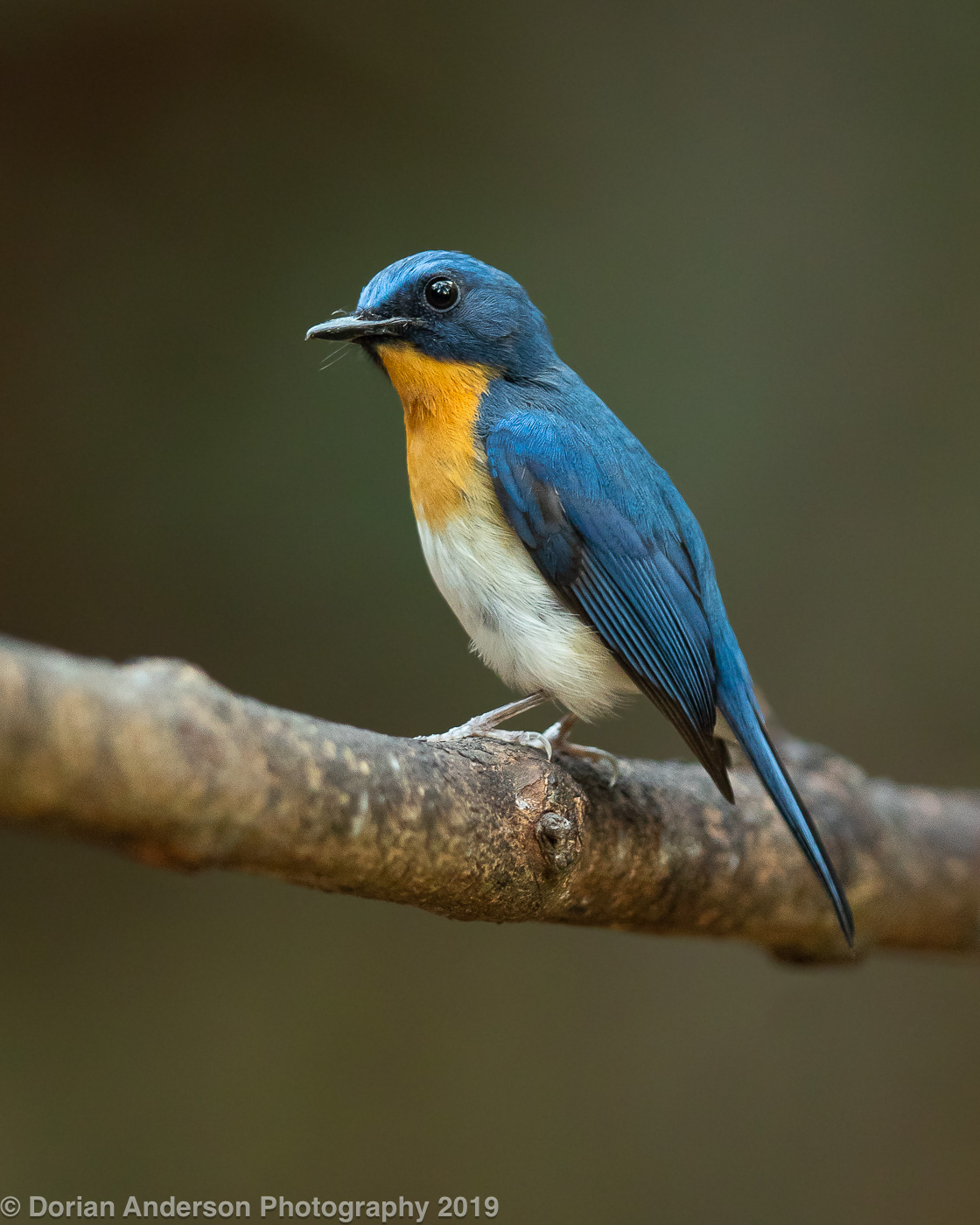 Name:  indochinese blue flycatcher vertical 010220.jpg