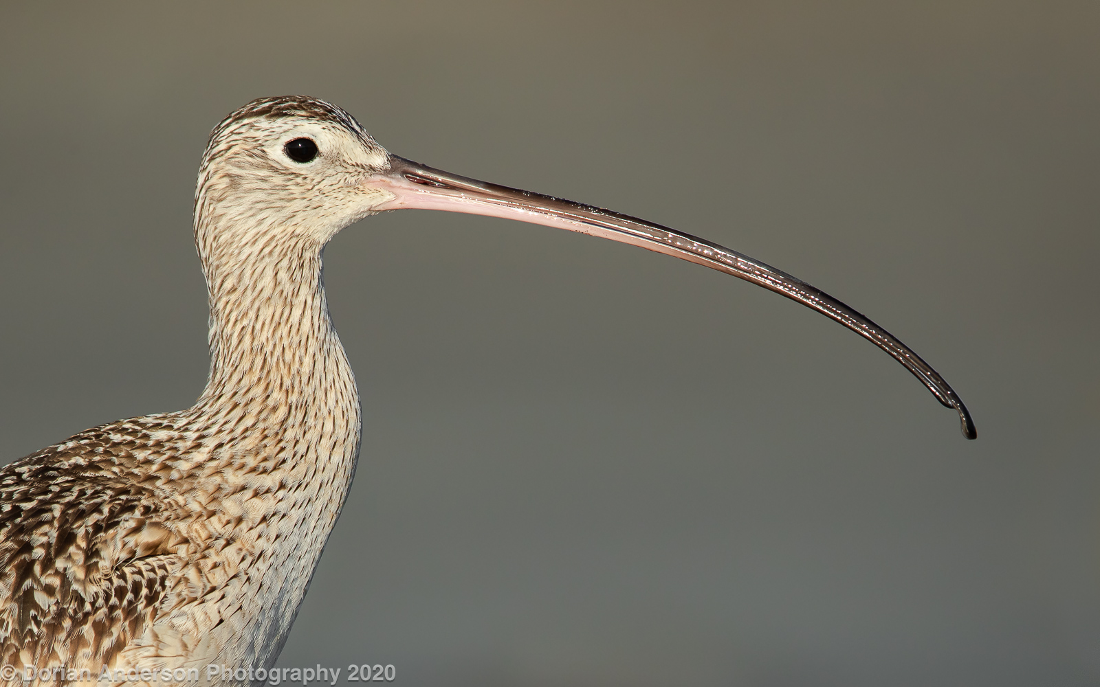 Name:  long-billed curlew head 040220.jpg