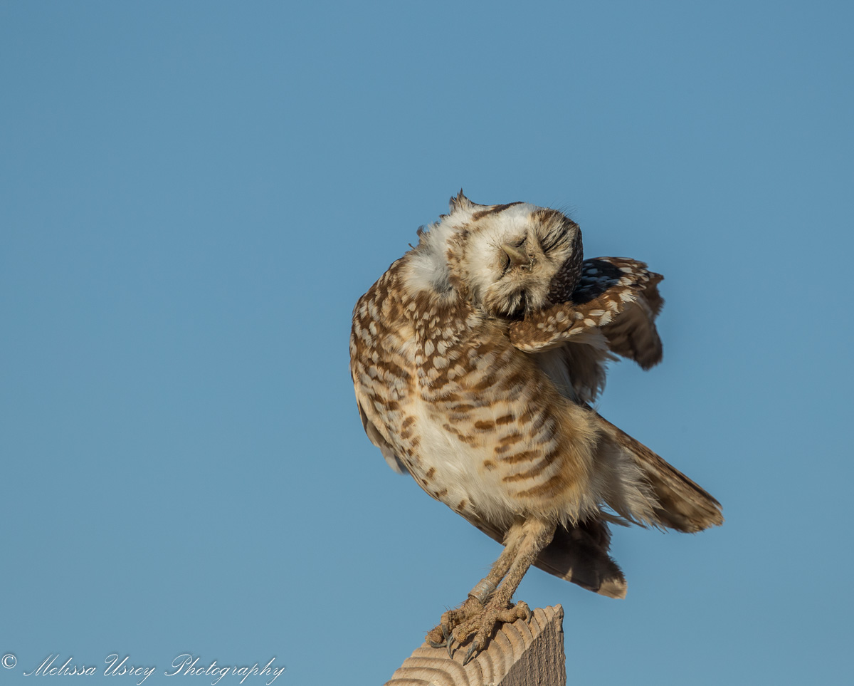 Name:  Sleepy Burrowing Owl 1200x300-7208.jpg