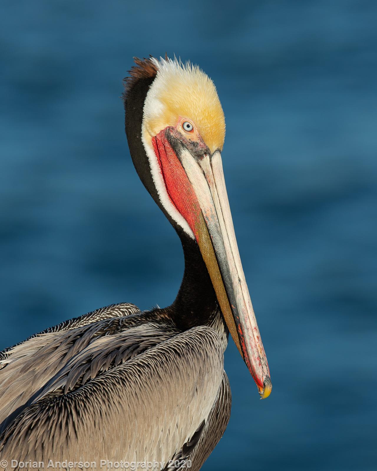 Name:  brown pelican head 021220.jpg Views: 132 Size:  582.0 KB