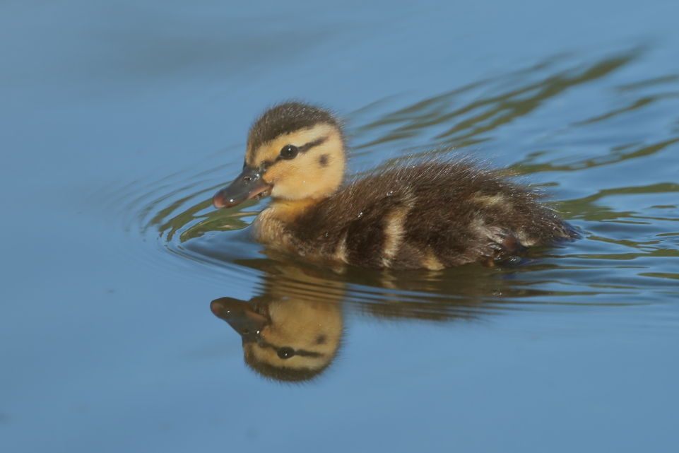 Name:  Duckling DPP4.JPG