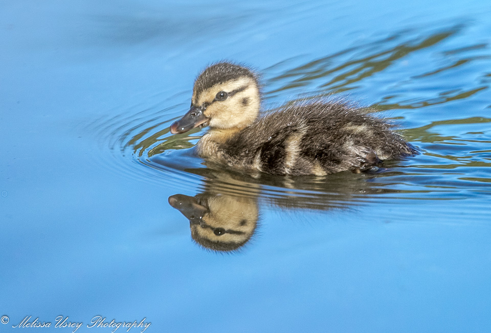 Name:  Duckling 960-0601.jpg