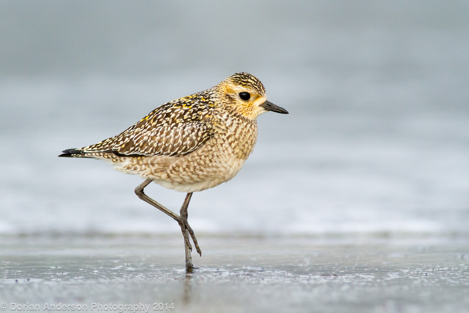 Name:  pacific golden-plover A 092814.jpg Views: 86 Size:  526.4 KB