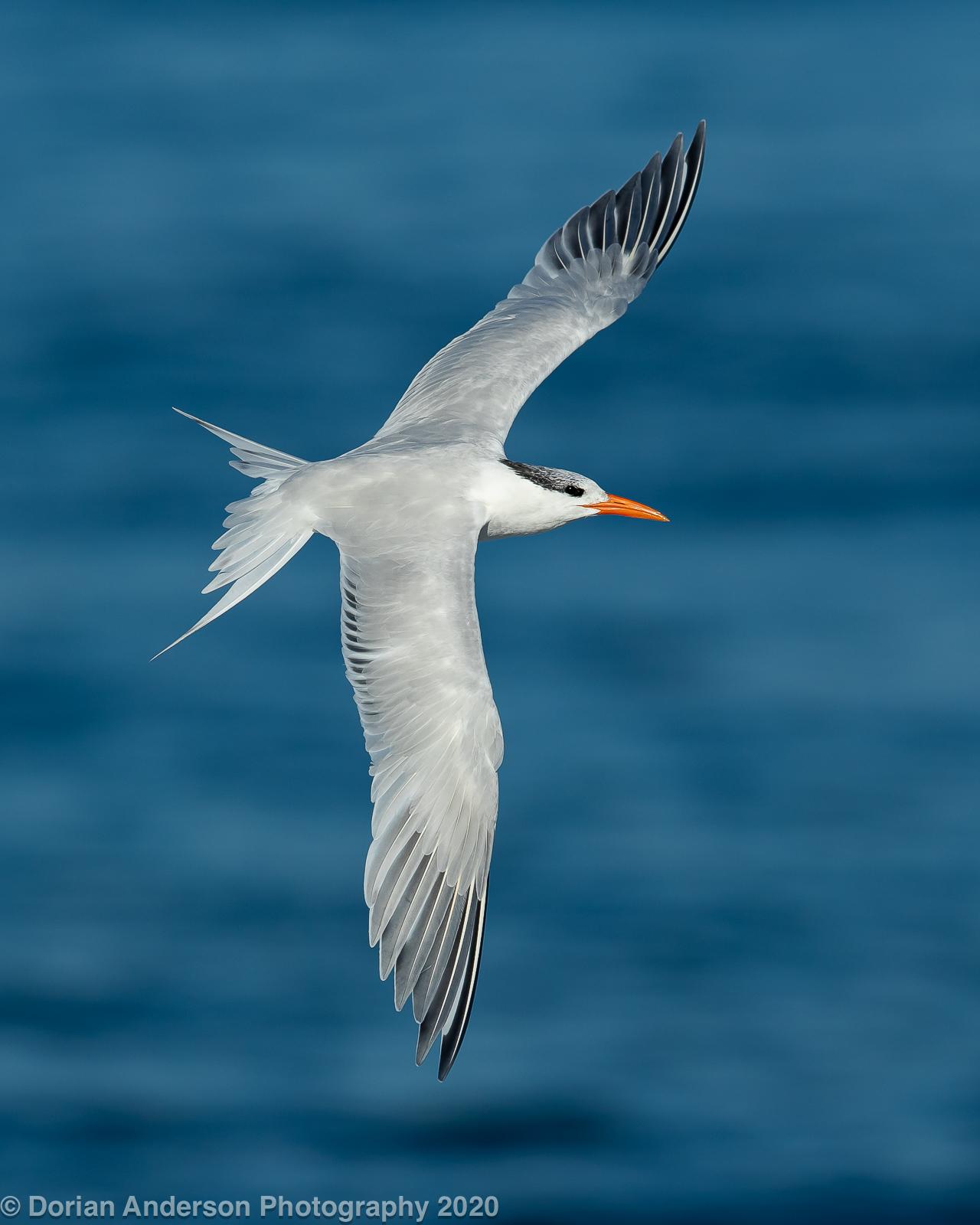 Name:  royal tern 021220.jpg Views: 109 Size:  546.1 KB