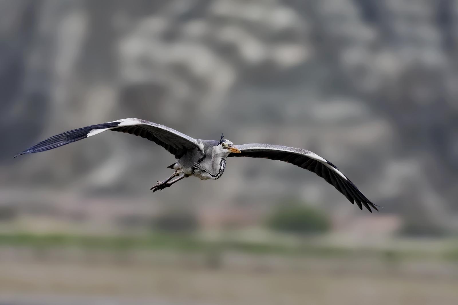 Name:  grey-heron3.jpg Views: 49 Size:  400.9 KB