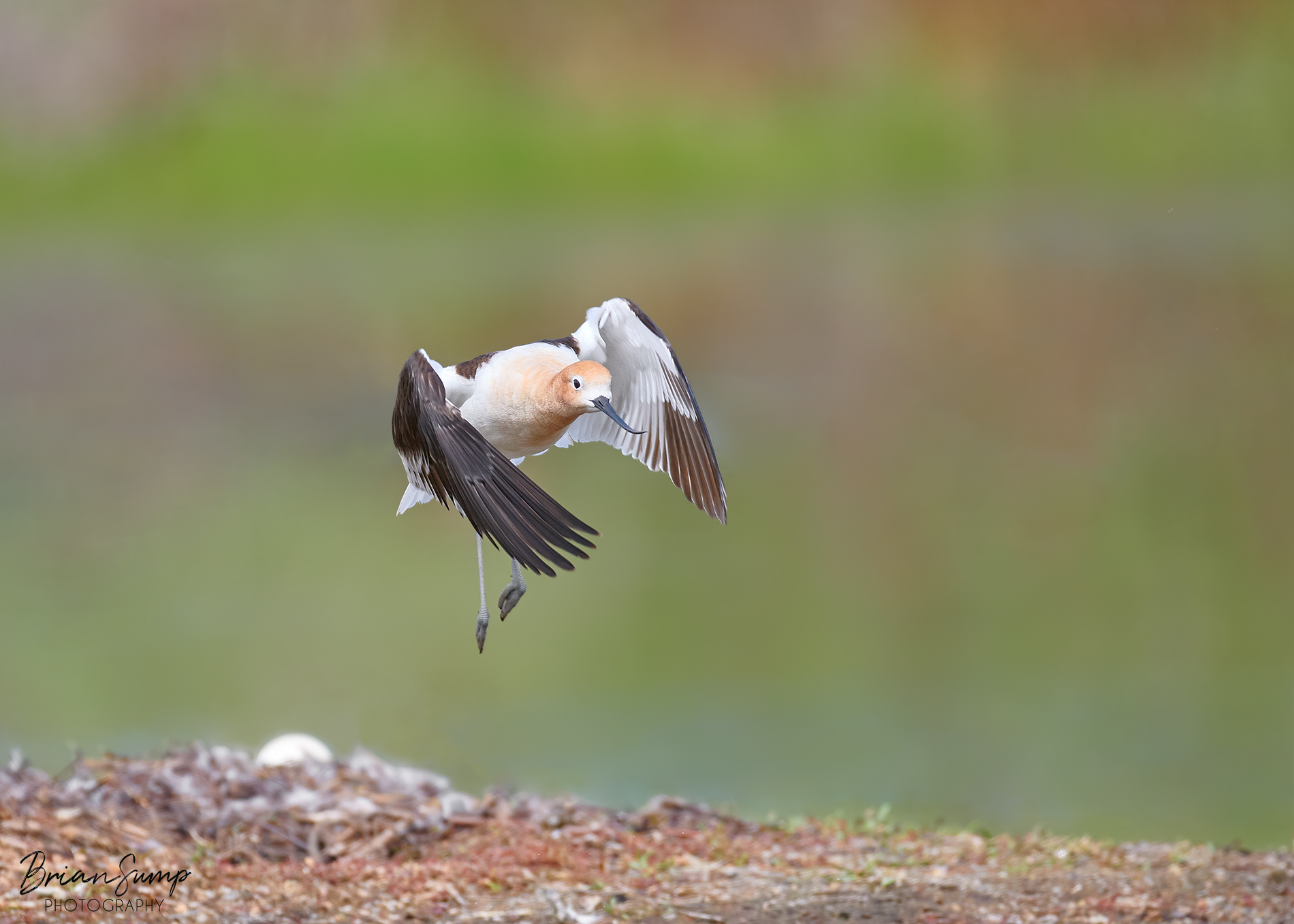 Name:  2020-05-12-Avocet-Leaving-the-nest-Brian-Sump_6338-SIg-FORUM.jpg Views: 67 Size:  572.9 KB