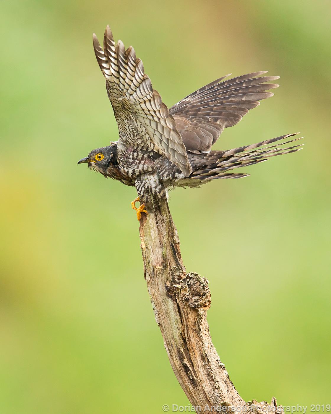 Name:  large hawk-cuckoo wings 010220.jpg Views: 113 Size:  457.7 KB