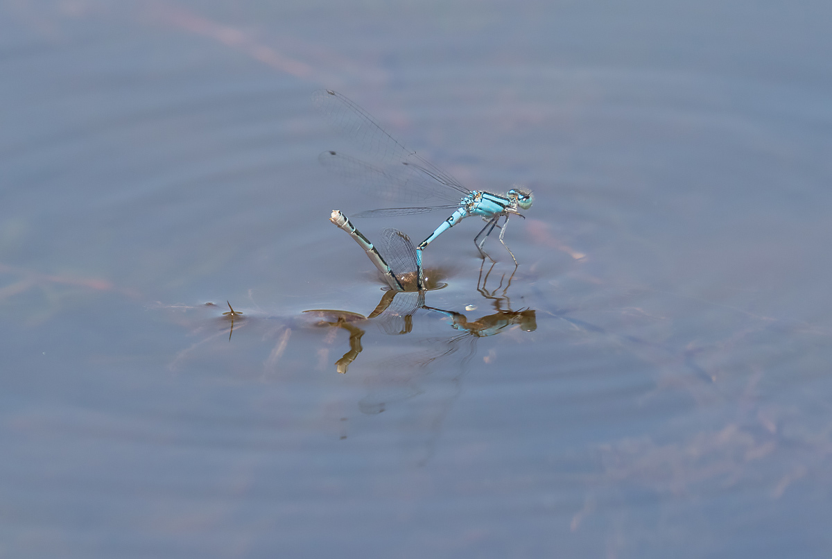 Name:  damselfly-fight-3_I0A3652.jpg