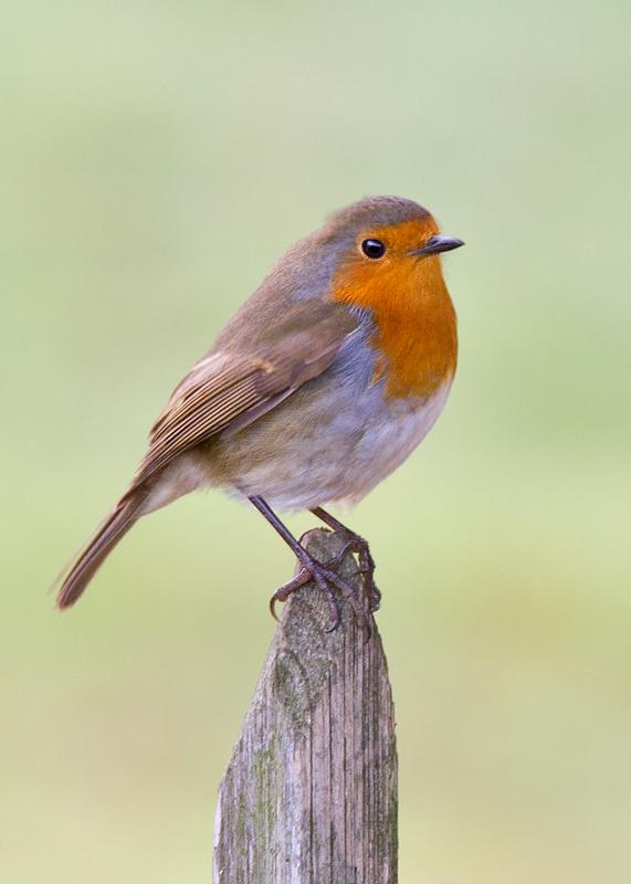 Name:  Robin-Edit-800.jpg Views: 1644 Size:  248.1 KB