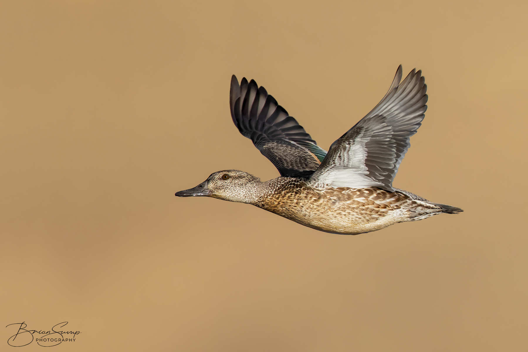 Name:  20201030-Green-Winged-Teal-hen-wingsup-Brian-Sump-BMS_8719-FORUM-SIG-USM150-brush-touch.jpg Views: 190 Size:  587.2 KB