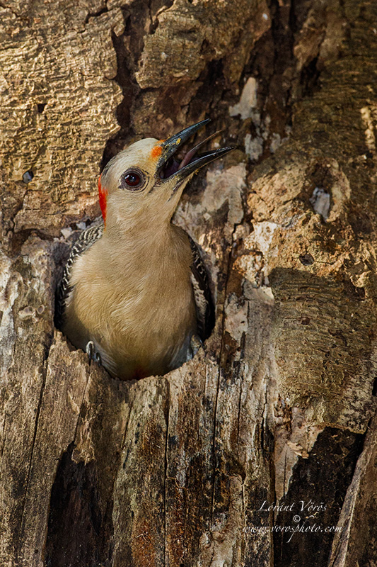 Name:  Golden-fronted Woodpecker11BPN.jpg