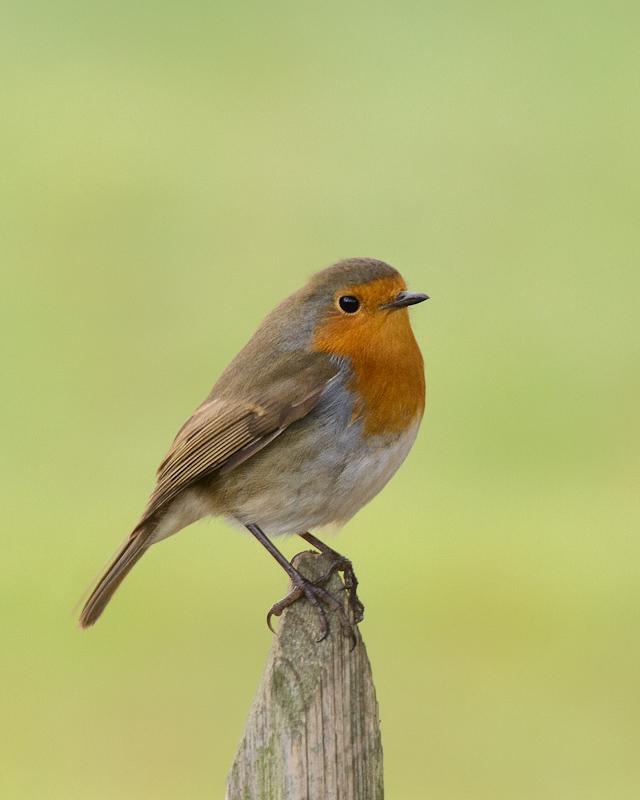 Name:  Robin-Edit.jpg Views: 1645 Size:  185.8 KB