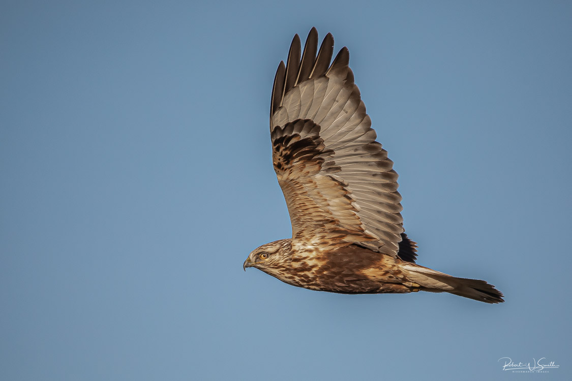 Name:  rough legged hawk.jpg