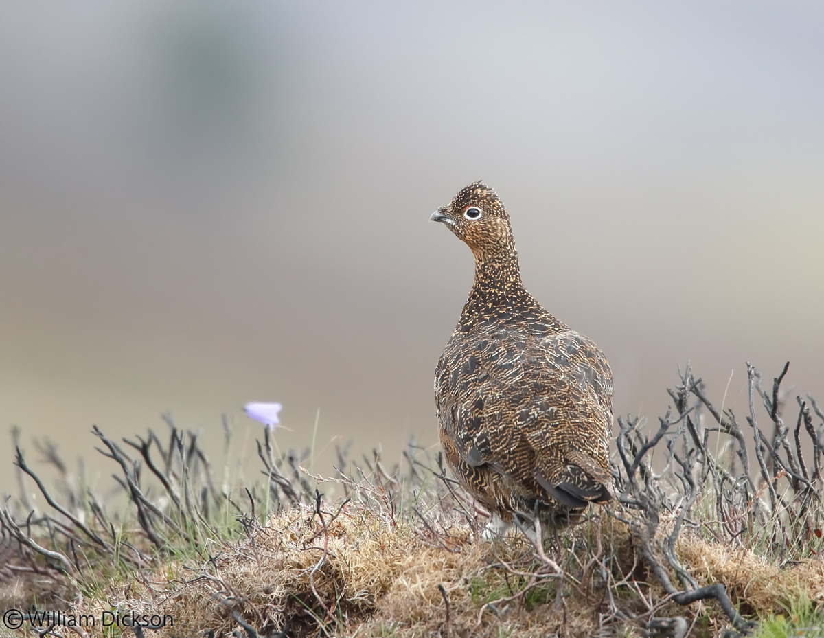 Name:  Red-Grouse2.jpg Views: 390 Size:  397.1 KB