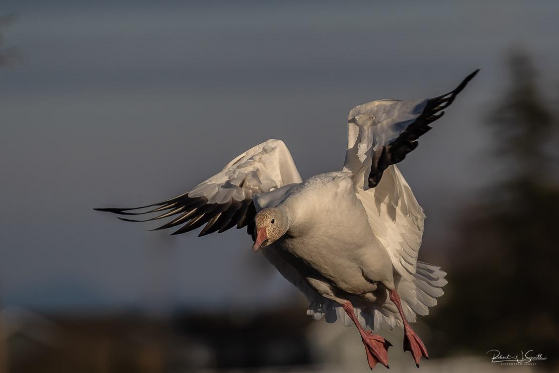 Name:  landing snow goose-2.jpg Views: 141 Size:  113.3 KB