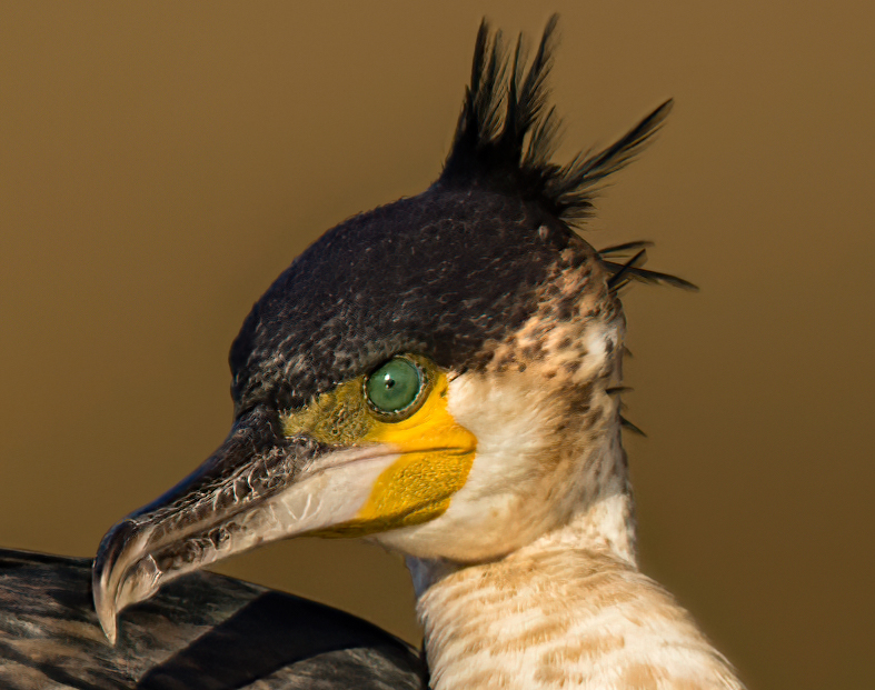Name:  Cormorant Head Shot 2.jpg Views: 454 Size:  371.0 KB