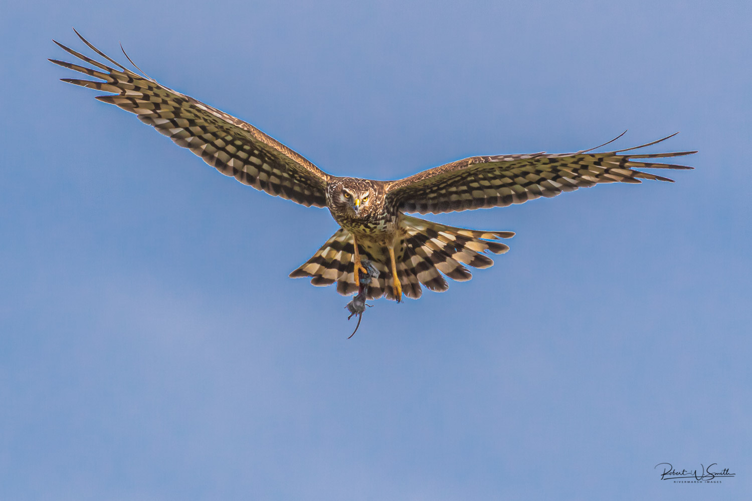 Name:  mother harrier with mouse.jpg