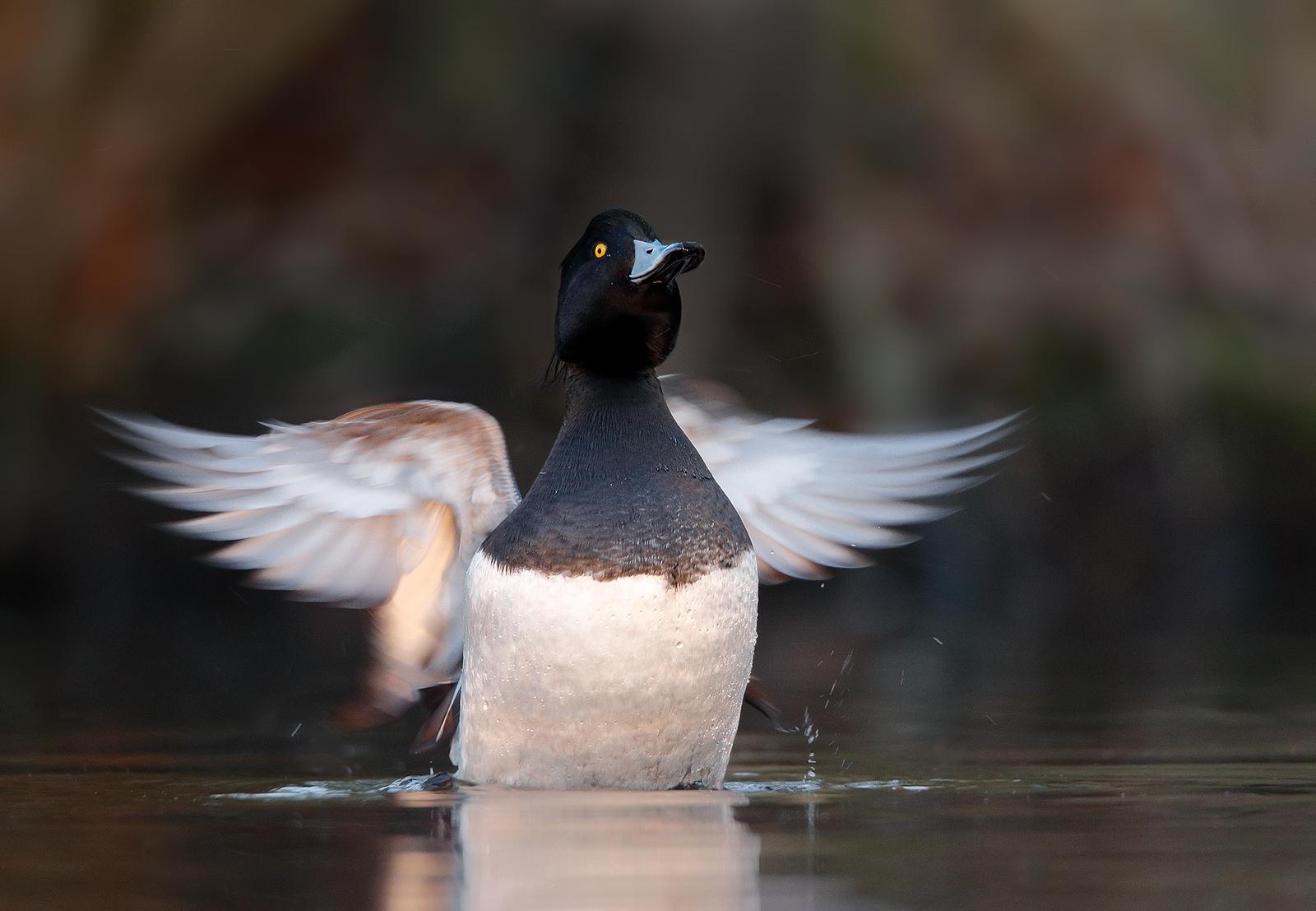 Name:  flap-male-tuft-1600.jpg Views: 2568 Size:  594.8 KB