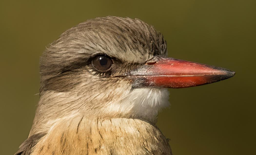 Name:  Kingfisher head.jpg Views: 53 Size:  568.3 KB