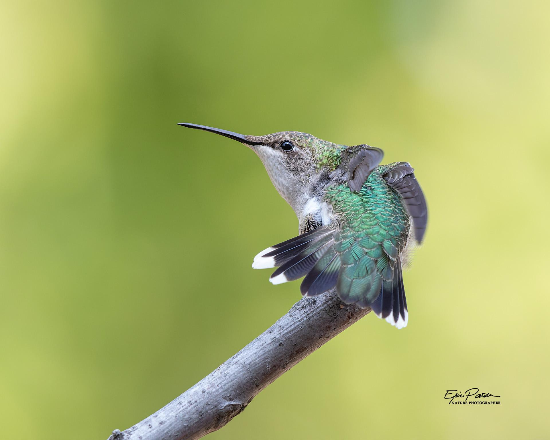 Name:  Ruby-throated_Hummingbird_A8440_PR.jpg Views: 112 Size:  410.8 KB