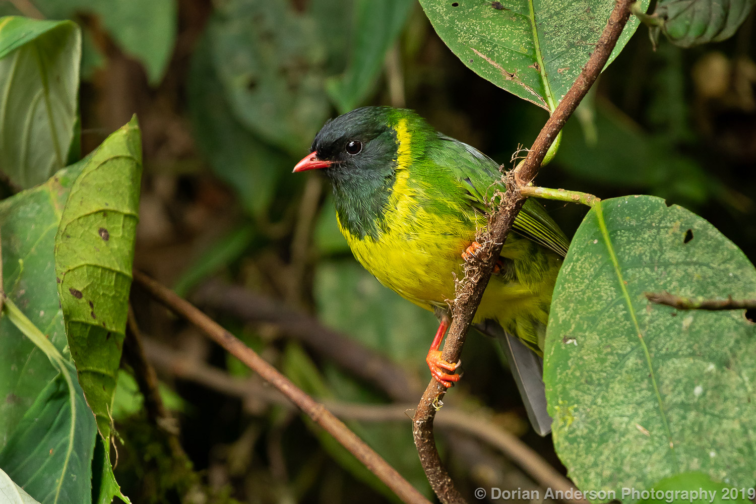 Name:  green-and-black fruiteater 070819.jpg