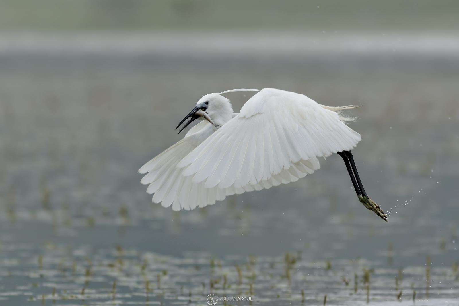 Name:  canon-400mm-f5.6-usm-L-volkanakgul-birdphotography.jpg Views: 87 Size:  441.3 KB