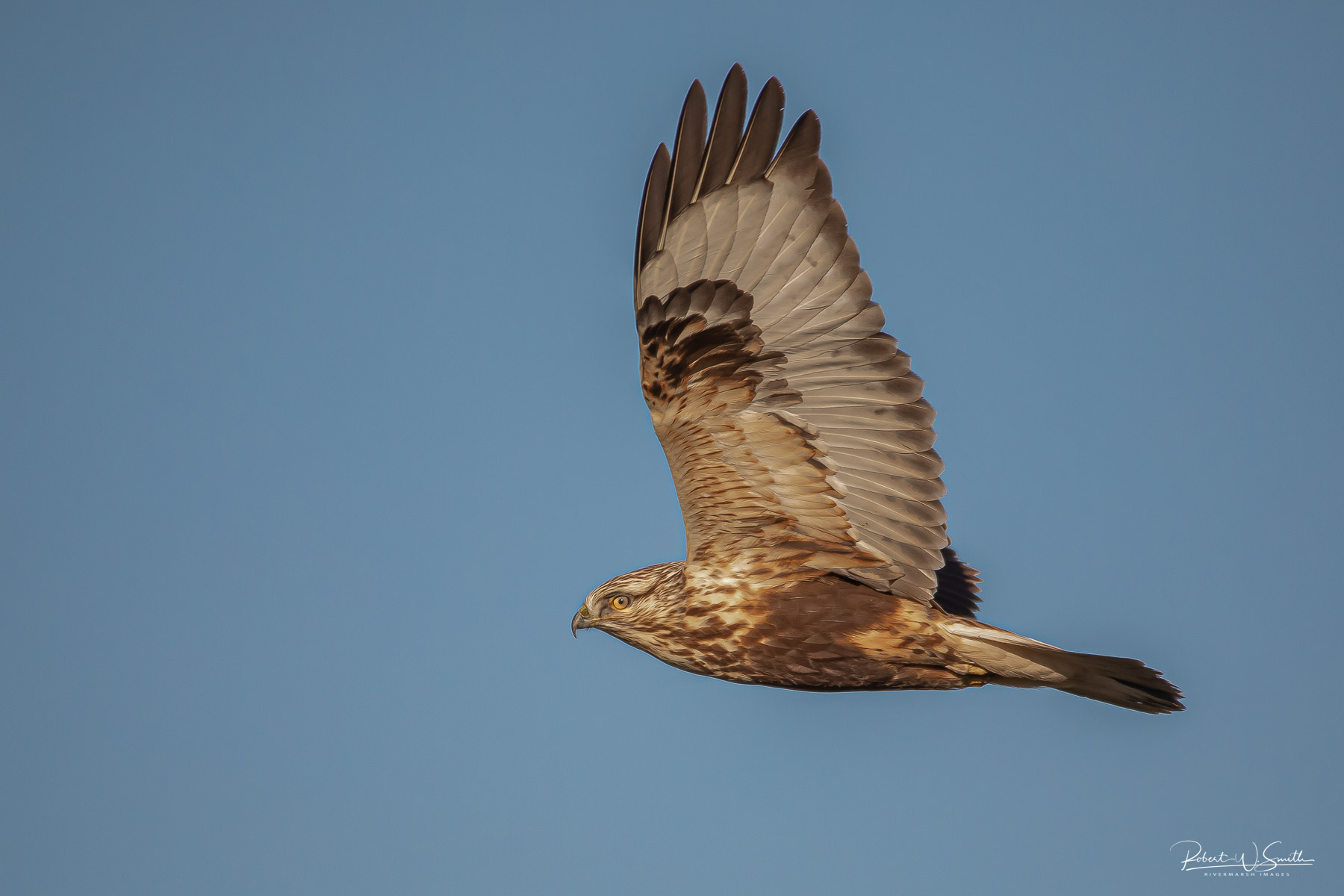 Name:  rough legged hawk 3.jpg