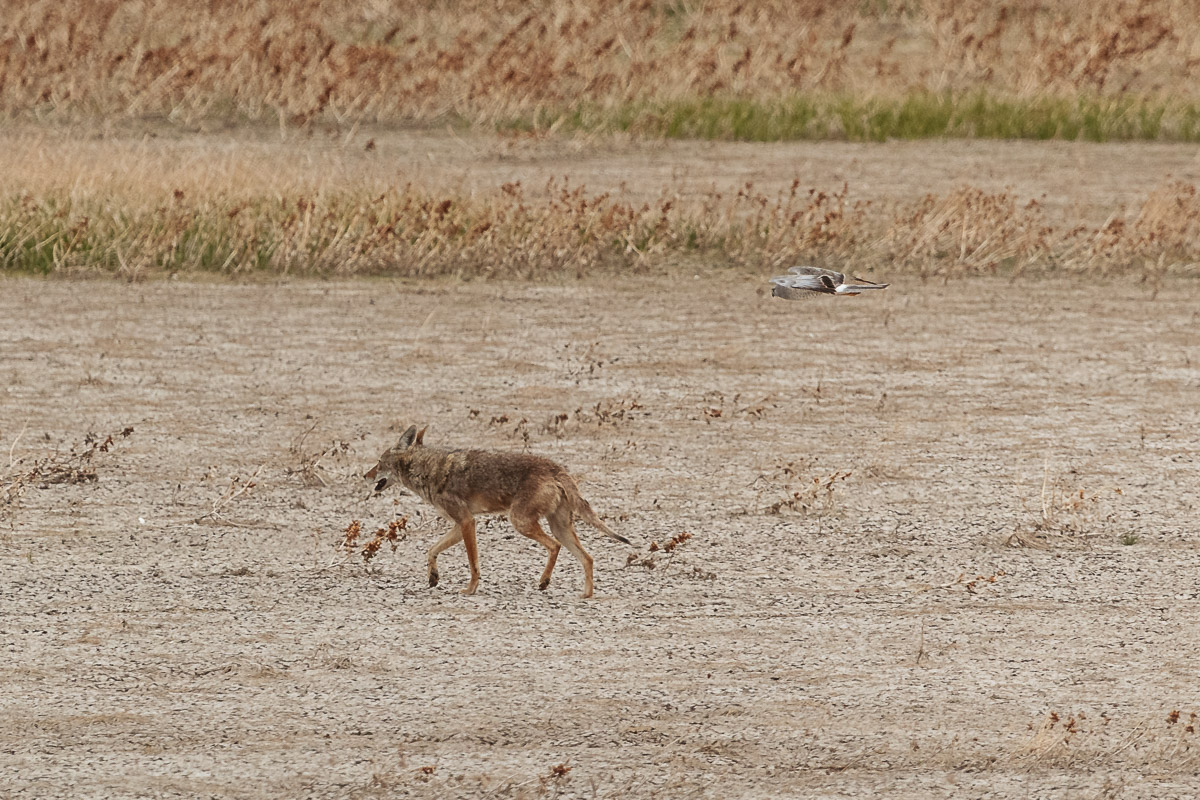 Name:  Coyote-4.jpg