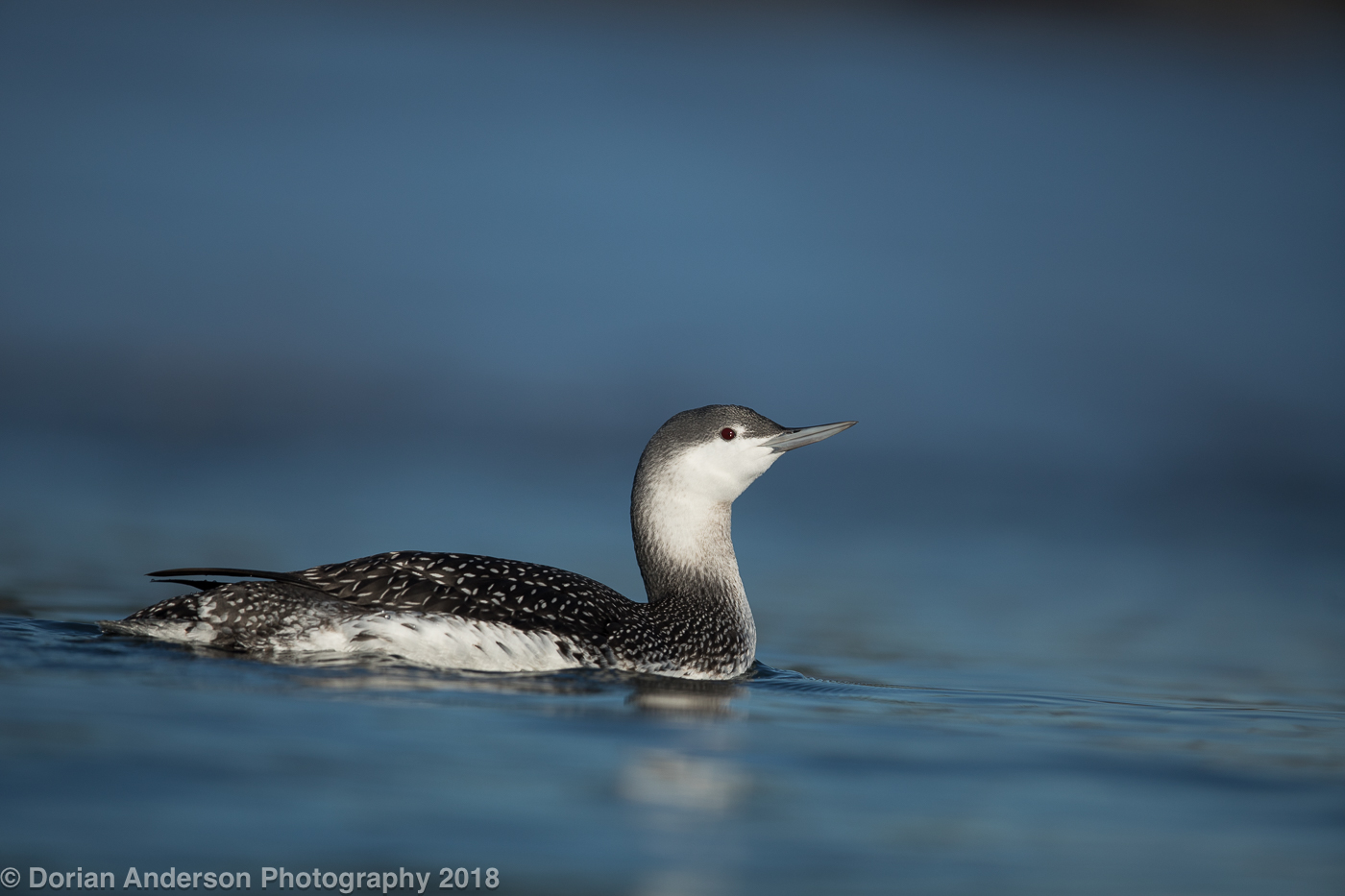 Name:  red-throated loon low 120818-2.jpg Views: 234 Size:  441.5 KB
