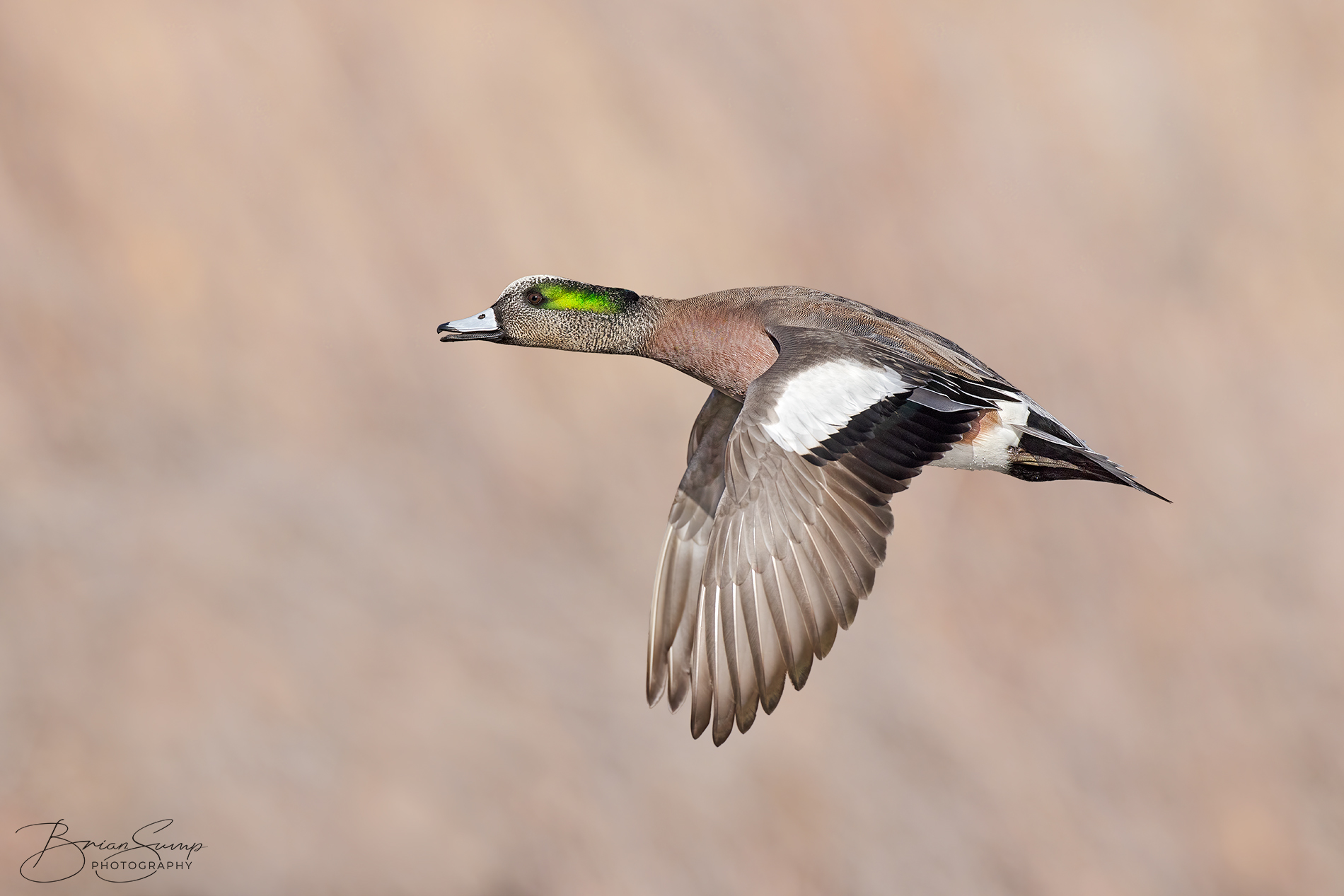Name:  20210123-Wigeon-Drake-Wingsdown-FULL-FRAME-Brian-Sump-BMS_9473-FORUM-SIG-SS35-brush-touch-dodged.jpg Views: 140 Size:  573.4 KB