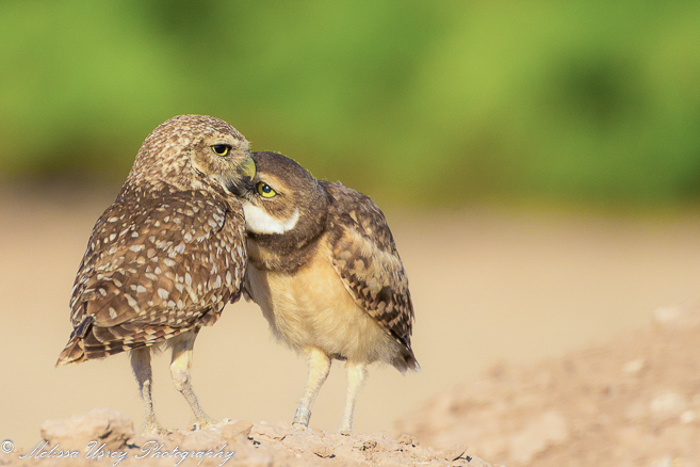 Name:  Burrowing Owl and Owlet-.jpg