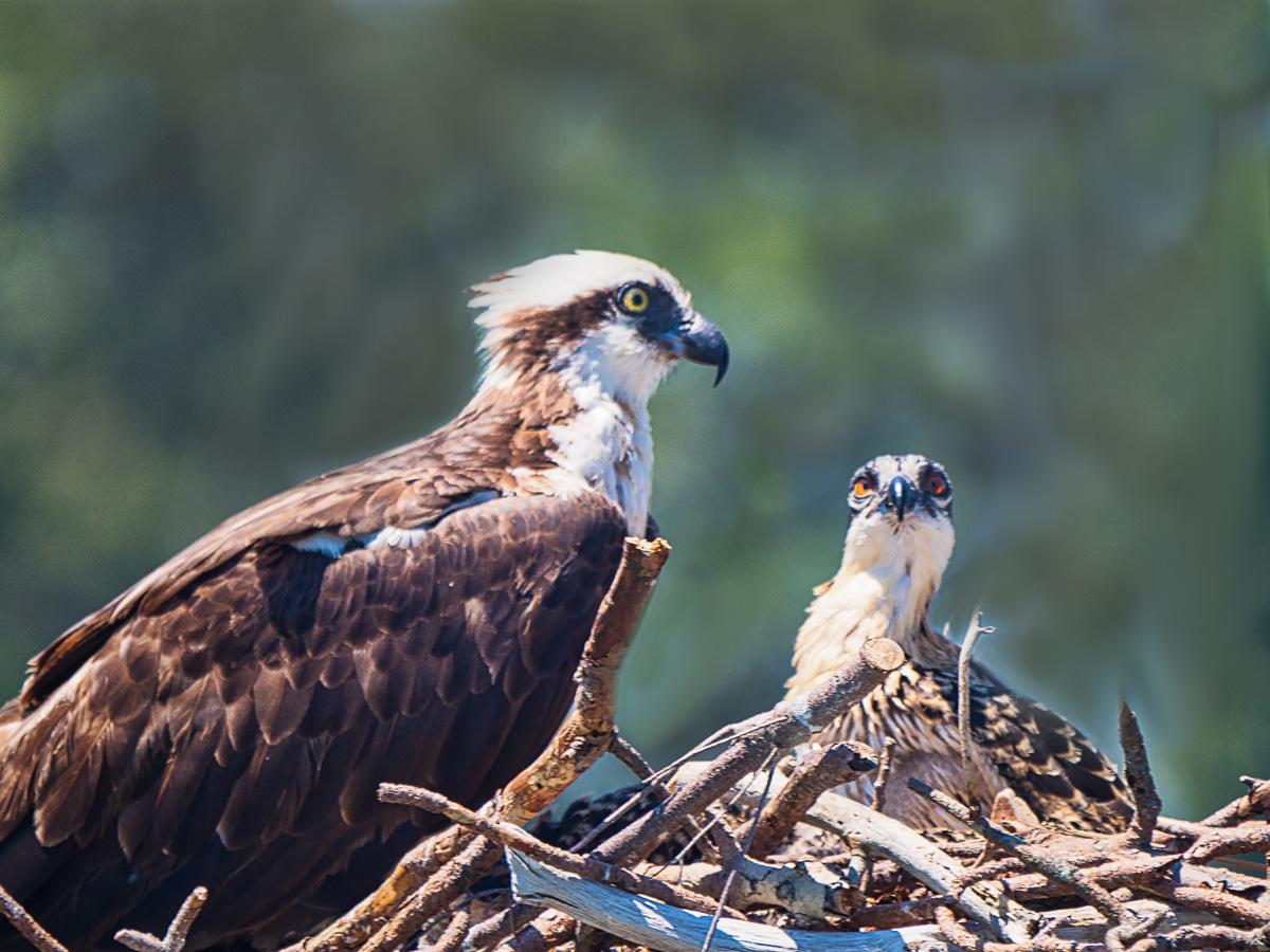 Name:  osprey (1 of 1)-2.jpg Views: 132 Size:  340.6 KB