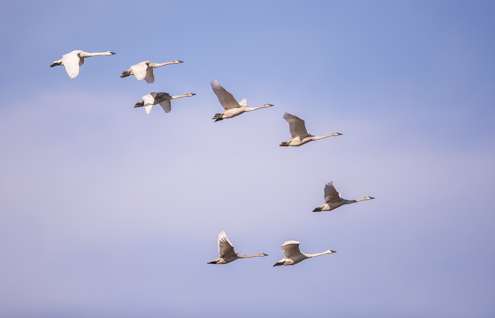 Name:  Snow Geese Formation 1920.jpg Views: 177 Size:  374.5 KB