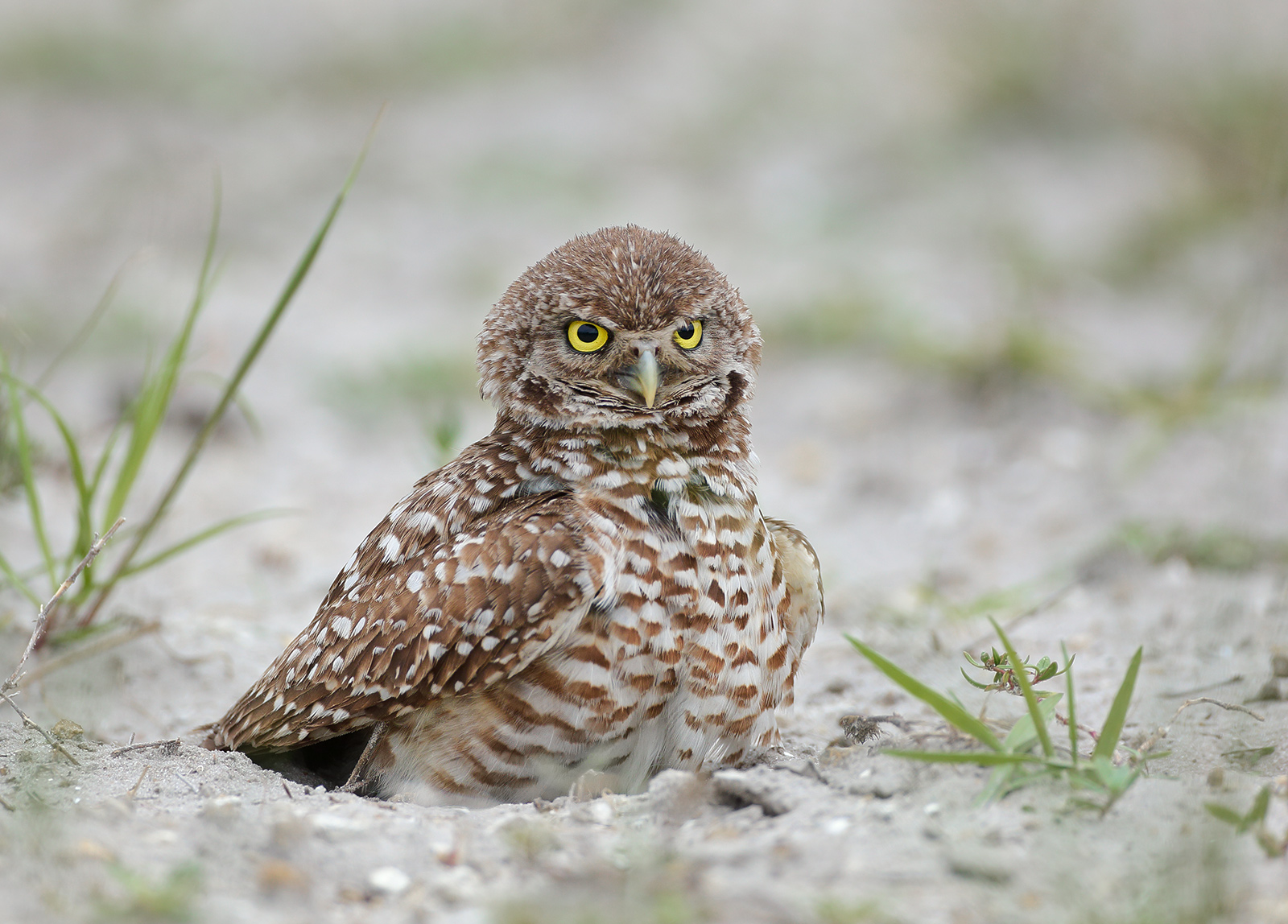 Name:  Bur-owl-sat-1600.jpg