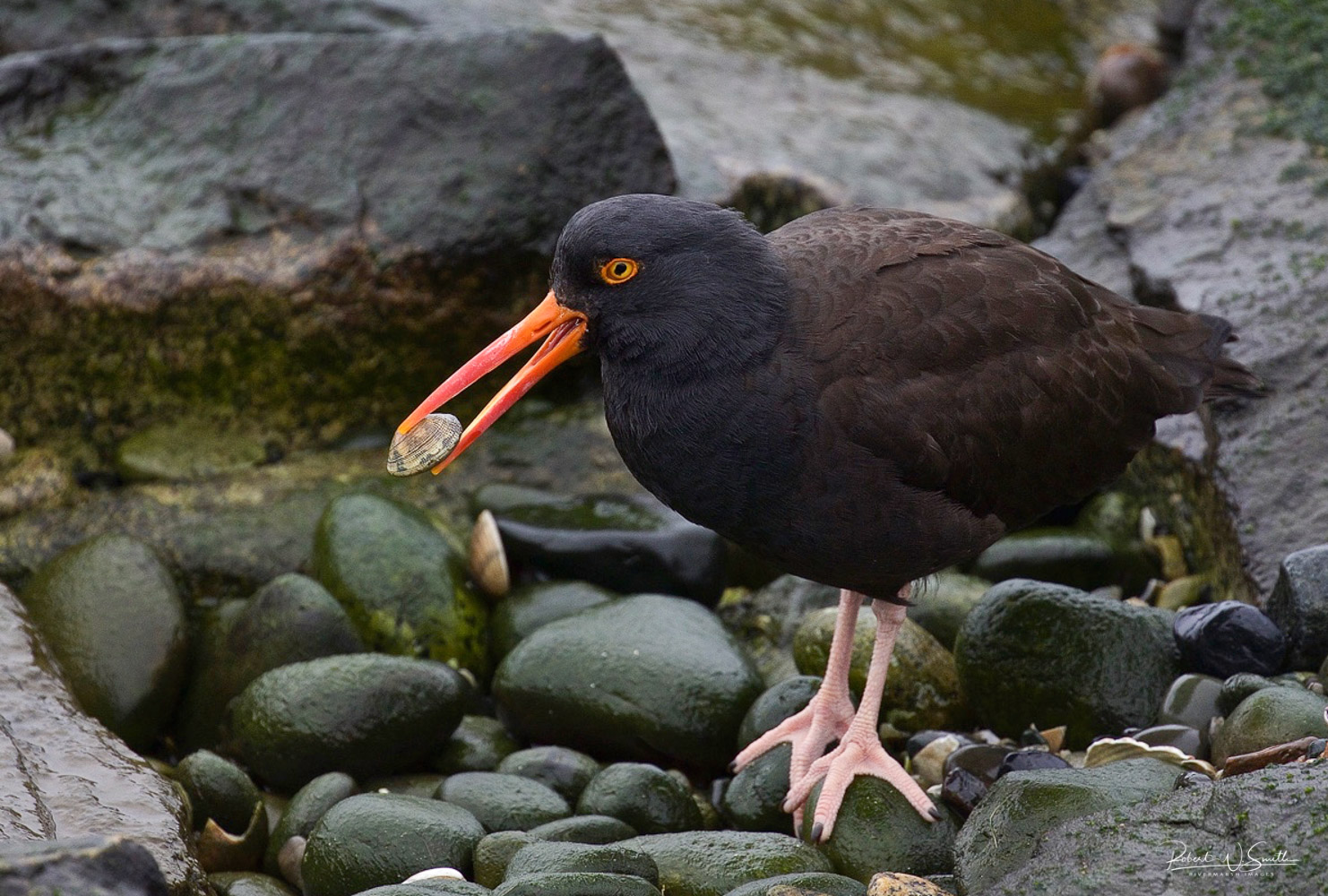 Name:  black oyster catcher with clam.jpg