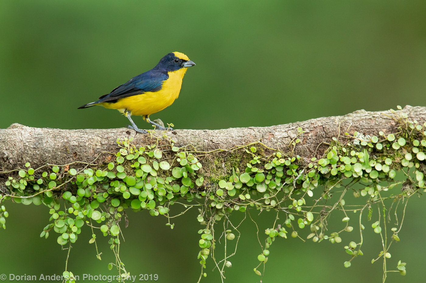Name:  thick-billed euphonia wide 070719.jpg Views: 87 Size:  563.9 KB