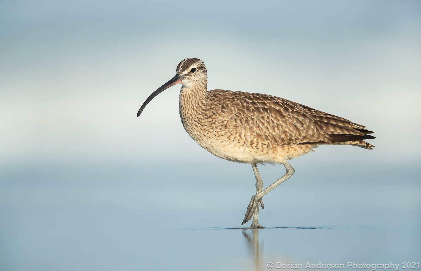 Name:  whimbrel closest 041421.jpg