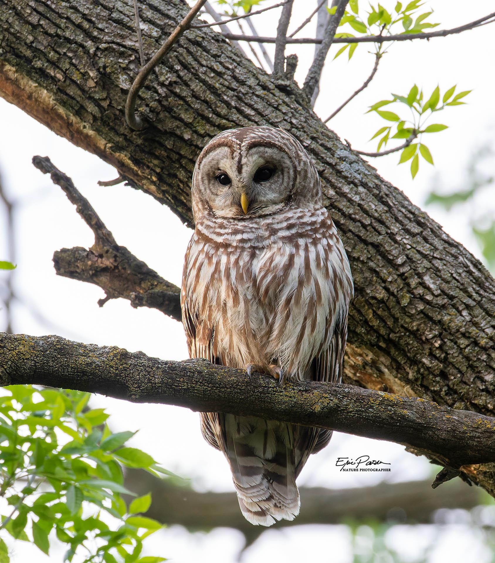 Name:  Barred_Owl.jpg Views: 59 Size:  523.1 KB