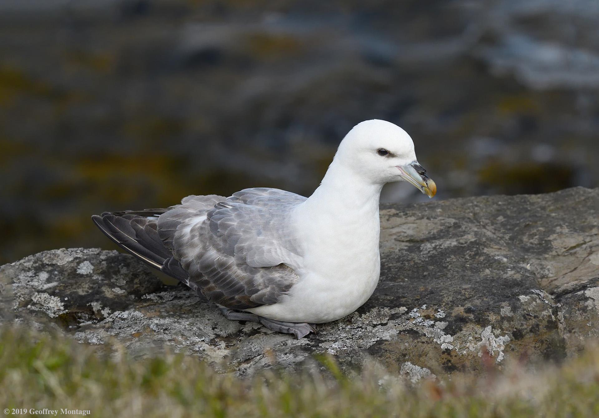 Name:  ©-2019-Geoffrey-Montagu_DSC4296cnnf-Flatey-Island-Northern-Fulmar.jpg Views: 5 Size:  478.7 KB