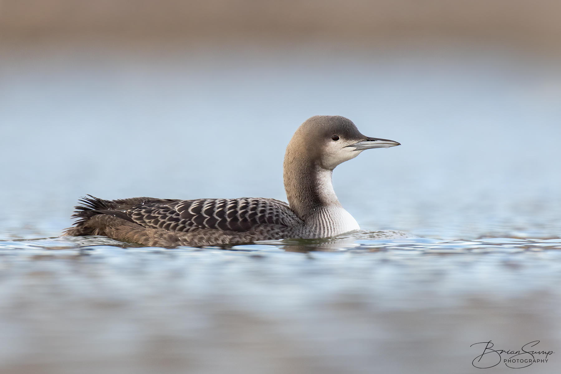 Name:  20201019-Pacific-Loon-Brian-Sump-BMS_5337-FORUM-SIG-USM155_.3-touch-SS25_.3-touch.jpg