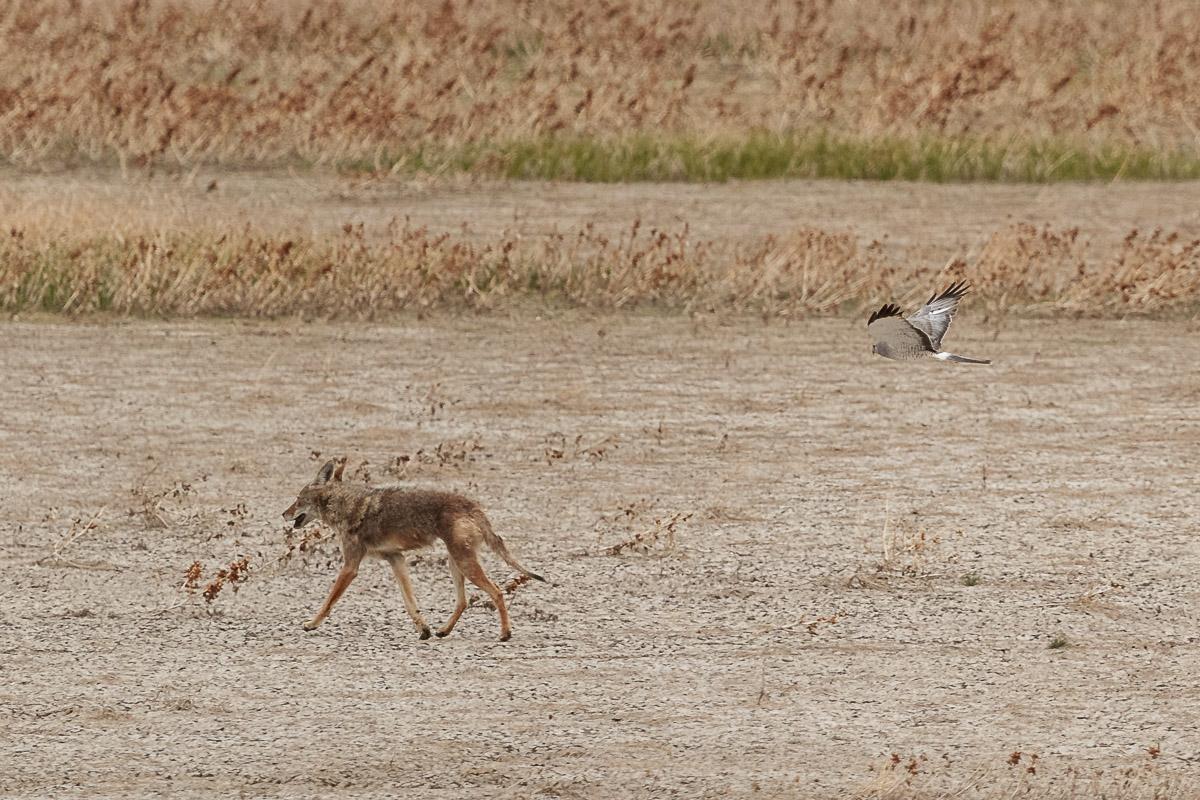 Name:  Coyote-3.jpg Views: 38 Size:  347.2 KB