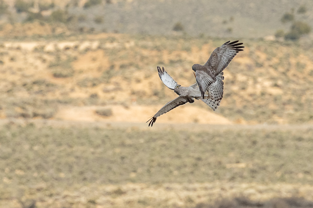 Name:  Northern Harrier-98.jpg Views: 79 Size:  261.5 KB