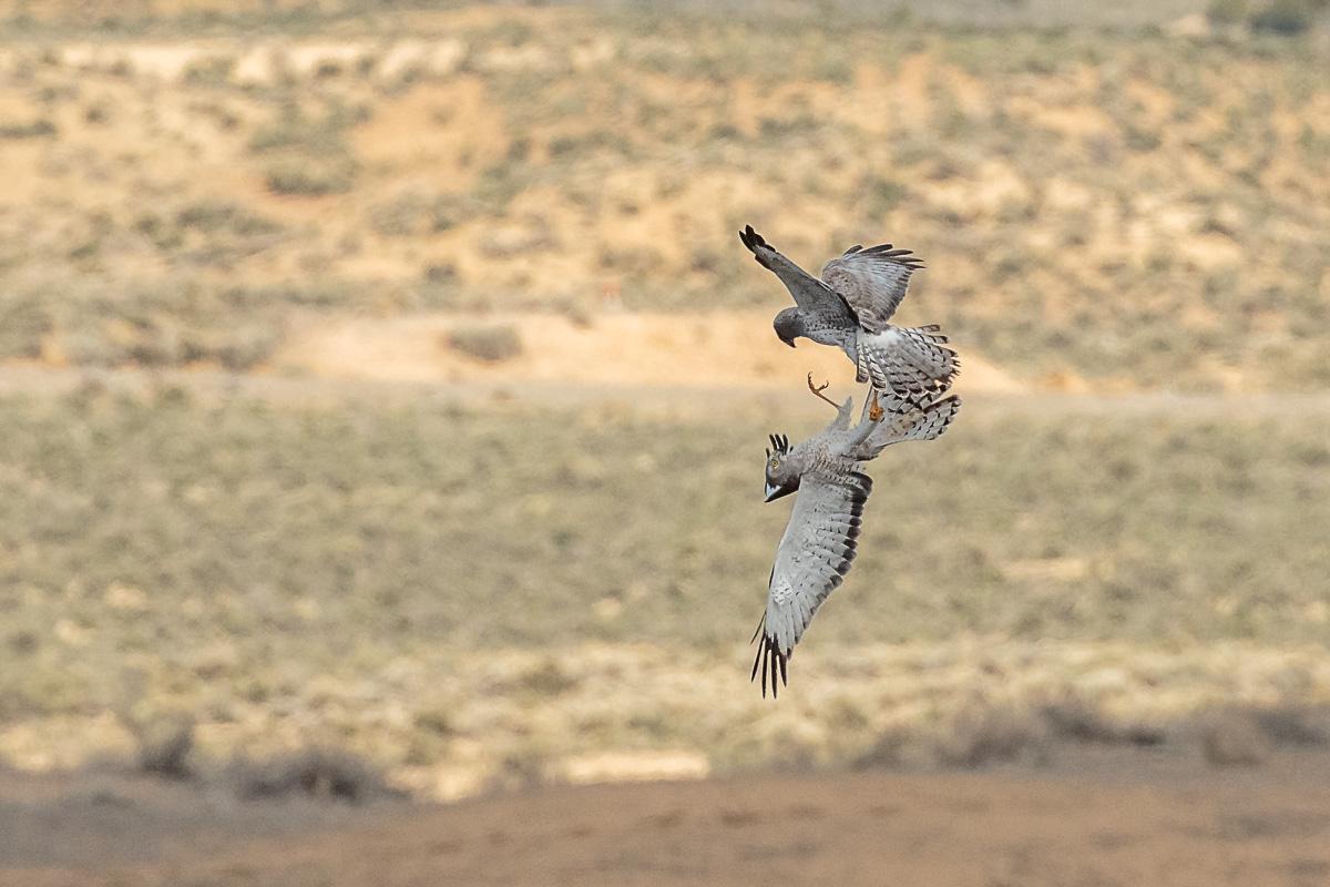 Name:  Northern Harrier-100.jpg Views: 79 Size:  266.2 KB