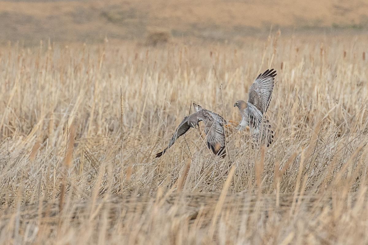Name:  Northern Harrier-106.jpg Views: 79 Size:  373.4 KB