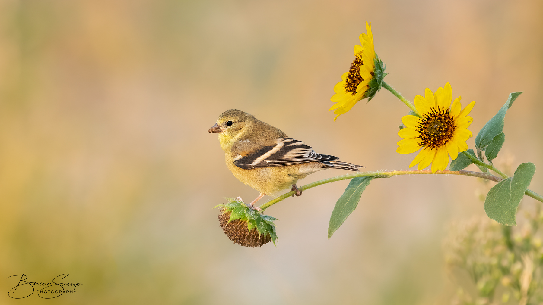 Name:  20200906-Goldfinch-Sunflowers-Brian-Sump_BMS5177-FORUM-SIG-SS45_.3-touch.jpg