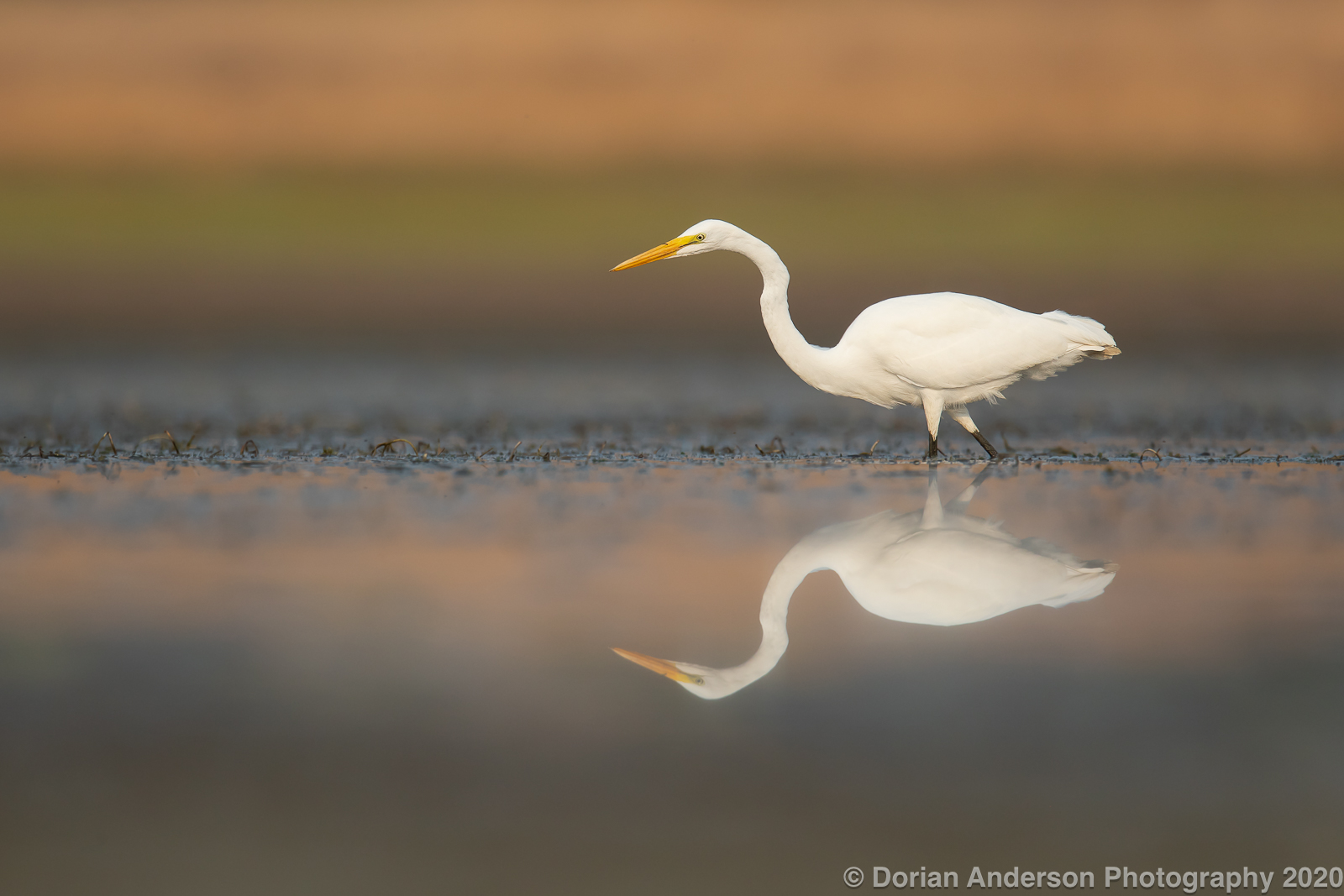 Name:  great egret low wide 092020.jpg Views: 257 Size:  590.1 KB