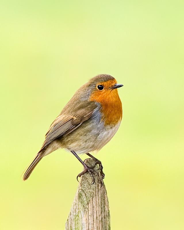 Name:  Robin-Edit-Edit.jpg Views: 1542 Size:  210.6 KB