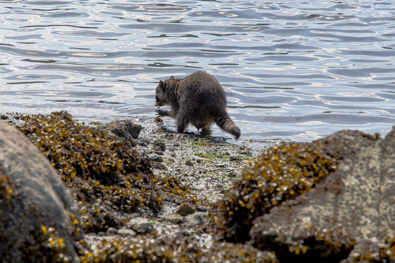 Name:  Racoon hunting clams-101.JPG