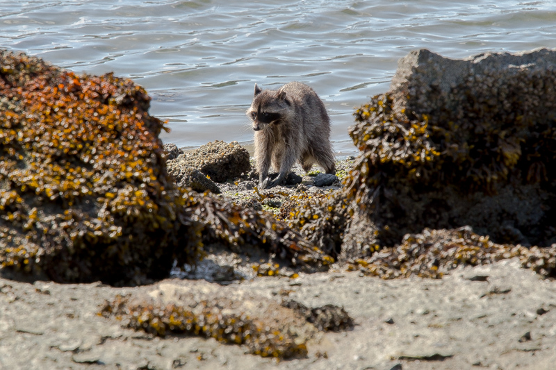 Name:  Racoon hunting clams-102.JPG